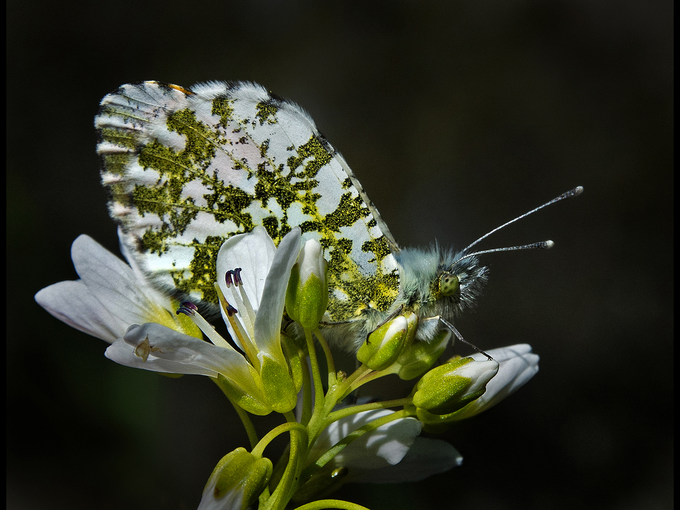 Orange tip with closed wings on rockcress..jpg