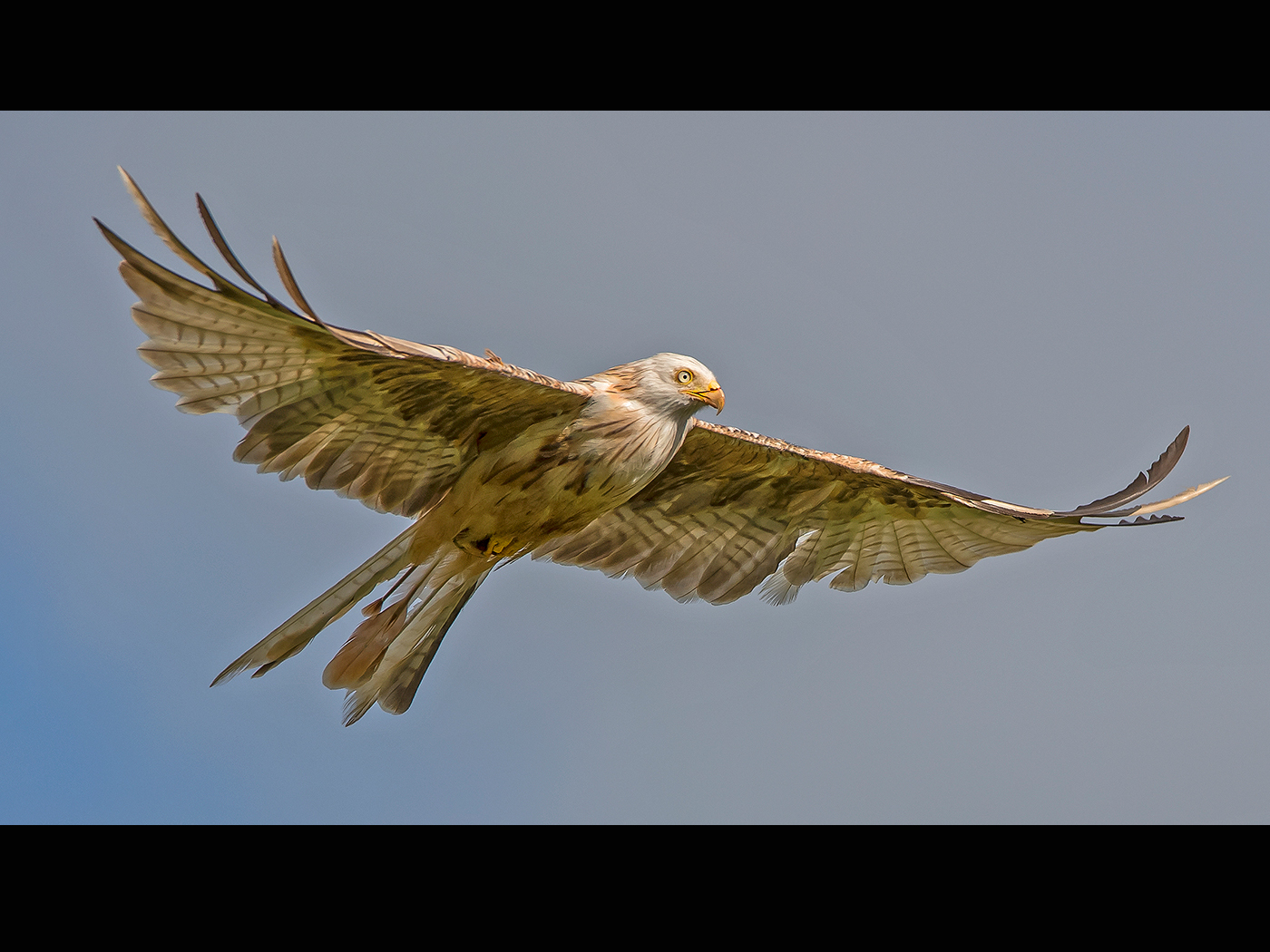 Leucistic Red Kite.jpg