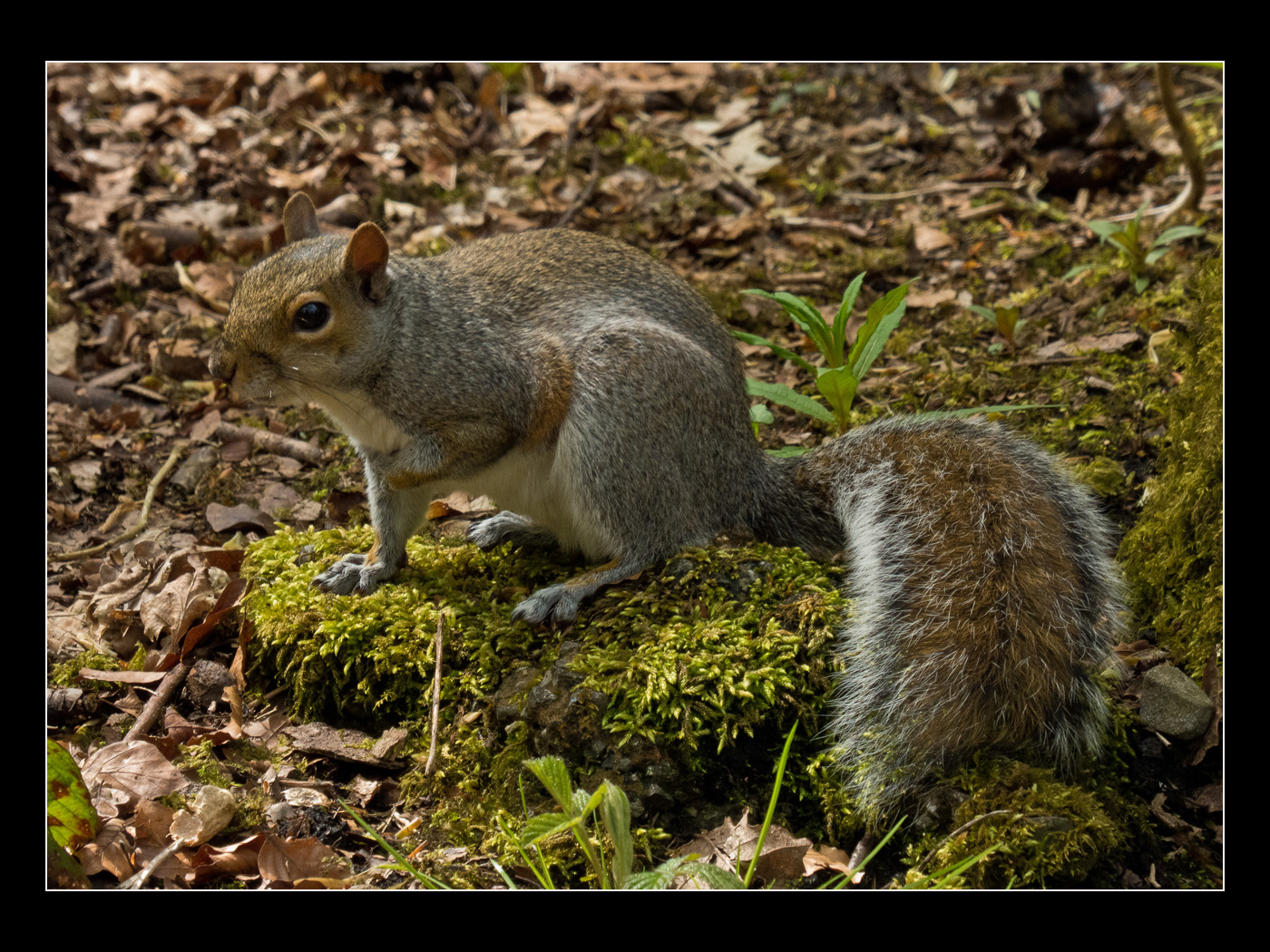 Grey Squirrel.jpg