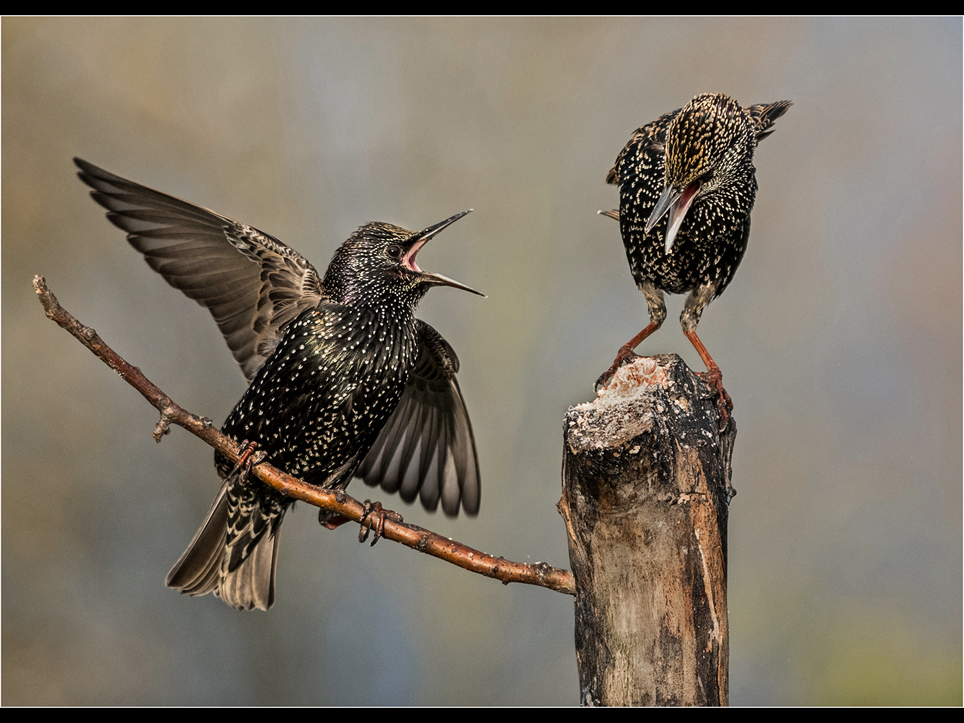 Squabbleing Starlings.jpg