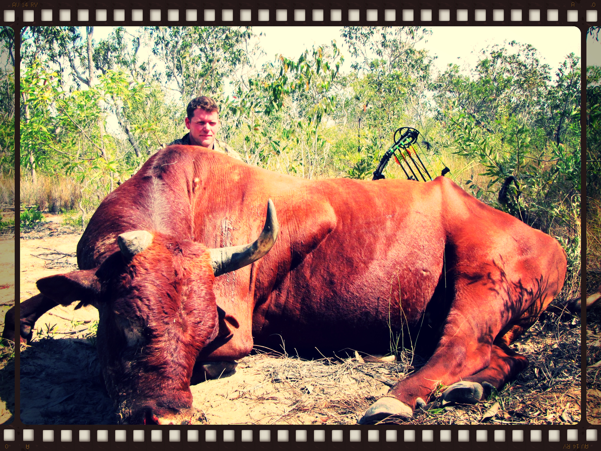 Wild Scrub Bull Hunting Australia